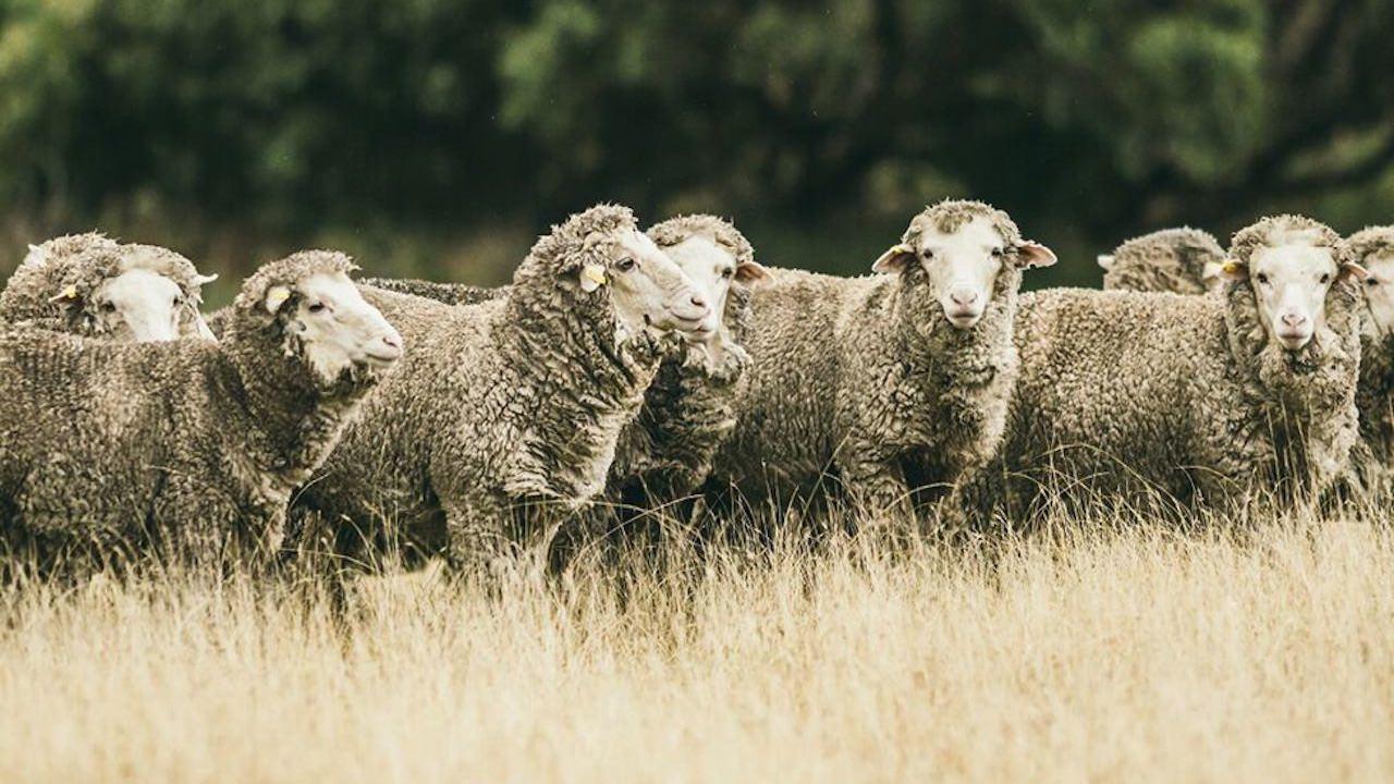 Mensch und Schaf im Fokus
